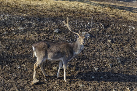 Roe deer - stang, fawn or Capreolus   out a turn in field, Sofia, Bulgaria