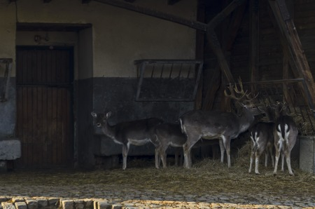 Animals of the  Roe deers, hind or  Capreolus capreolus family feed with hay from crib, Sofia, Bulgaria