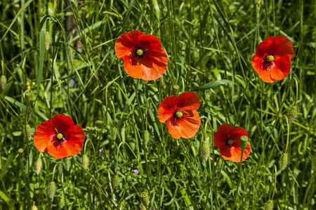 Fresh glade with red poppy or Papaver wildflower in Plana mountain, Bulgaria Фото со стока