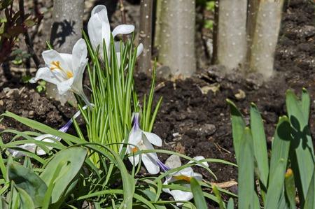 Art beautiful spring white crocus flowers in the garden, Sofia, Bulgaria