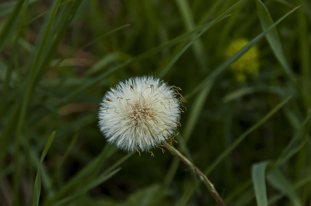 Texture of fluffy dandelions seed or blowball close up in meadow,  Plana mountain, Bulgaria