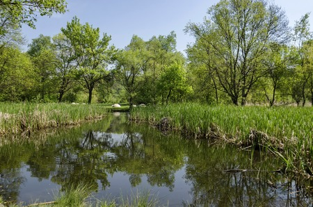 Springtime green and fresh reed, Phragmites communis or rush and tree with reflection on a beauty  lake in South park, Sofia, Bulgaria