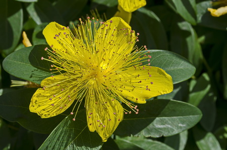 Hypericum calycinum, St. John`s Wort or Yellow Rose of Sharon bush flower close-up with a central mass of bright yellow stamens, Sofia, Bulgaria