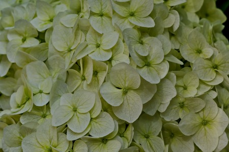 Multiple white hydrangea plant or hortensia flower with bloom close up in the garden, Sofia, Bulgaria Stock Photo