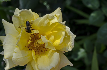 Macro close up of honey bee collecting pollen from yellow rose flower, Sofia, Bulgaria