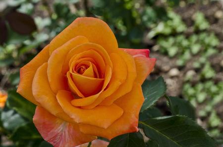 Orange rose bush in bloom at natural outdoor garden, district Drujba, Sofia, Bulgaria Stock Photo