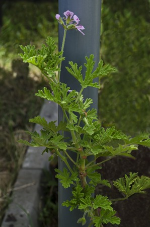 Close up of rose geranium or pelargonium flower in garden, district Drujba, Sofia, Bulgaria Stock Photo