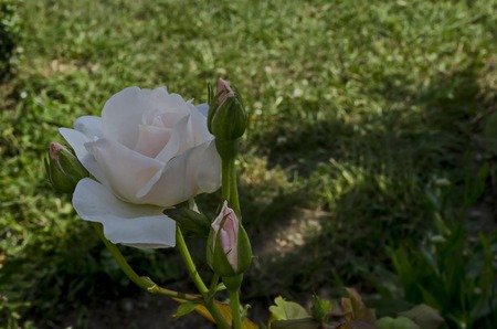 Fresh white bloom rose flower in the garden, district Drujba, Sofia, Bulgaria