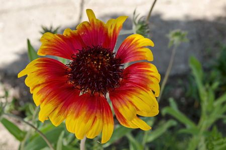 Gaillardia aristata or Blanket flower with red and yellow petals blooming in the garden, district Drujba, Sofia, Bulgaria