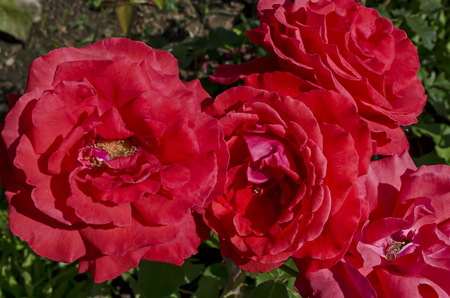 Red rose bush in bloom at natural outdoor garden, district Drujba, Sofia, Bulgaria