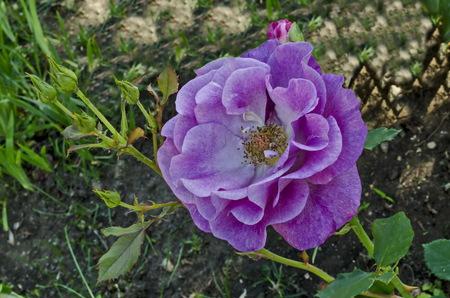 Pink rose bush in bloom at natural outdoor garden, district Drujba, Sofia, Bulgaria