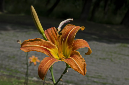 Orange day lily, Lilium or Hemerocallis fulva flower blooming  in the natural old West park, Sofia, Bulgaria