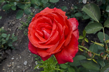 Red rose bush in bloom at natural old West park, Sofia, Bulgaria Stock Photo