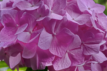 Background of multiple rose hydrangea plant or hortensia flower in blooming close up, Sofia, Bulgaria