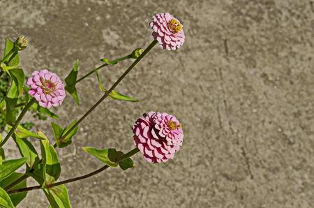 Fresh twig of rose zinnia Flower bloom flower in the garden, Sofia, Bulgaria
