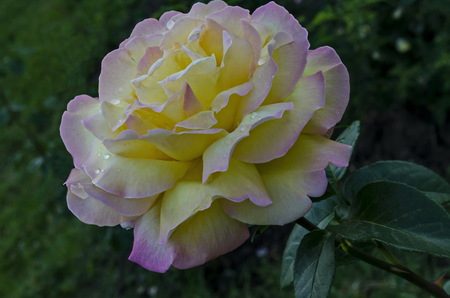 Photo of twig fresh mix pink and yellow rose bloom flower for greeting in the natural park Zaimov, district Oborishte, Sofia, Bulgaria