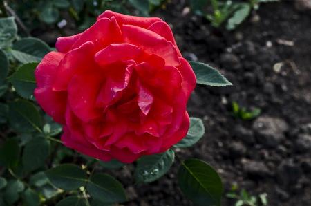 Photo of red rose bush in bloom flower for greeting at natural  park Zaimov, district Oborishte, Sofia, Bulgaria Stock Photo