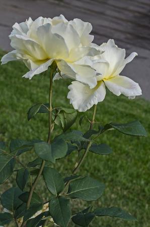 Photo of white rose bush in bloom flower for greeting at natural  park Zaimov, district Oborishte, Sofia, Bulgaria