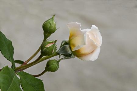 Fresh beige bloom rose flower in the garden, district Drujba, Sofia, Bulgaria Stock Photo