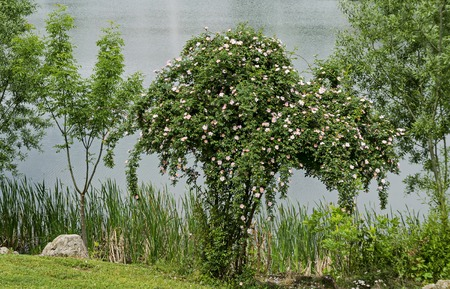 Bush with fresh bloom of wild rose, brier or Rosa canina flower in the garden, Sofia, Bulgaria