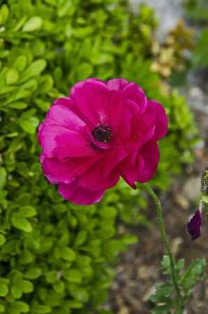 Fresh glade with rose poppy or Papaver flower and green spider in garden, residential district Drujba, Sofia, Bulgaria