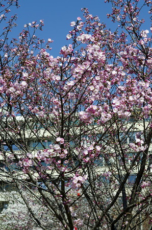 Blossoming japanese cherry branch, beautiful spring flowers for background, Sofia, Bulgaria 免版税图像