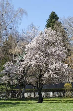 Springtime view with blooming plum-tree  or Prunus domestica in park, Sofia, Bulgaria