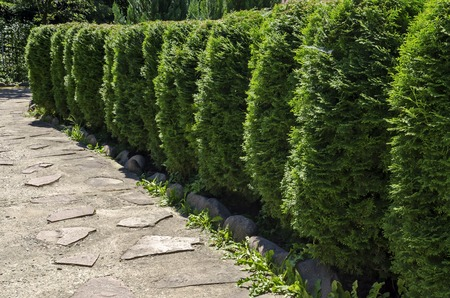 Natural background of Buxus Bush or Buxus, ideal for garden design with shape and green leaves all year round, mountain Balkan, near Varshets town, Bulgaria, Europe Stock Photo