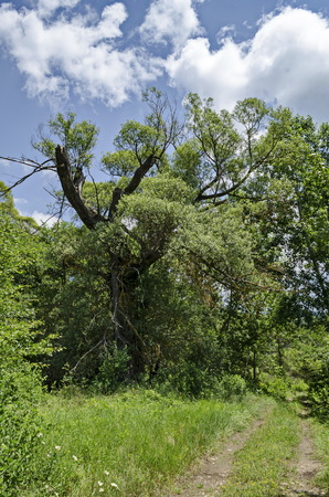 Ðœagnetic landscape of summer nature with green deciduous forest and big old broken tree in  the  Lozen mountain, Bulgaria