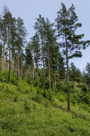 Summer sunlit coniferous forest  over slope, bushes and wild flower, Vitosha mountain, Bulgaria