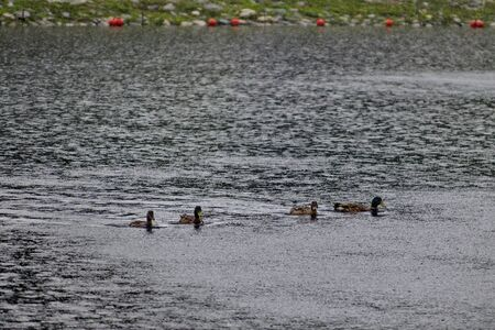 Group of male and female mallard ducks swimming  in artificial lake on a rainy day in rila park near town Dupnitsa, Bulgaria Stok Fotoğraf