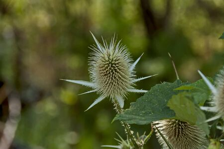 Wild teasel, Wild thistle or Dipsacus fullonum, a species of flowering plant from Eurasia, Sredna gora mountain, Bulgaria