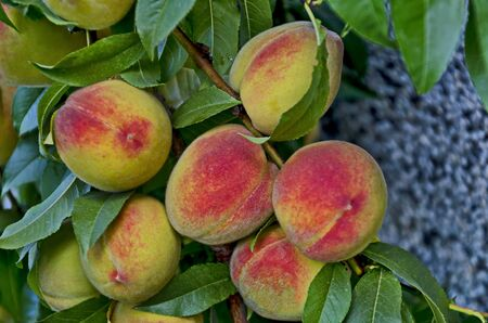 Peach tree branch or Prunus persica with many ripe fruits, recommended as background, Zavet, Bulgaria