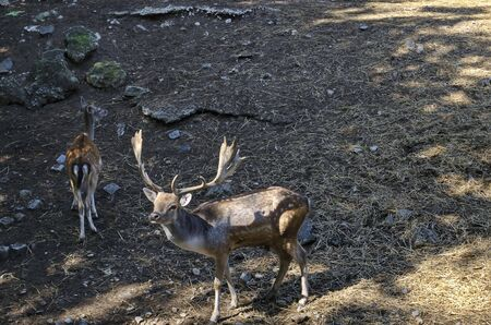 Bellow majestic powerful adult Fallow Deer, Dama dama and female roe deer  relax in the open air, Sofia, Bulgaria Stock Photo