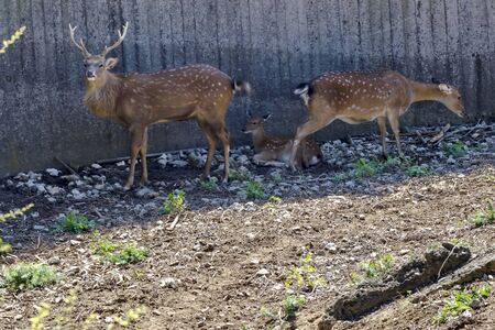 Bellow majestic powerful adult Fallow Deer, Dama dama, female roe deer and young roe  relax in the open air, Sofia, Bulgaria