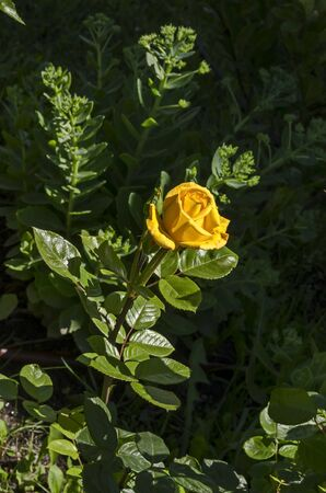 Photo of a yellow rose in the monastery garden of Zhelyava village, Sofia region, Bulgaria
