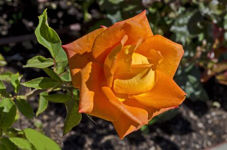 Photo of a orange rose in the monastery garden of Zhelyava village, Sofia region, Bulgaria