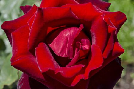 Photo of a red rose in the monastery garden of Zhelyava village, Sofia region, Bulgaria 版權商用圖片