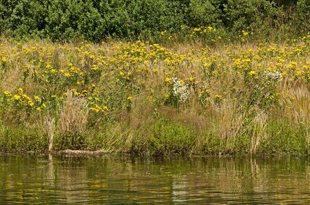 Beautiful fresh forest and glade with Yellow tansy Tanacetum vulgare flowers on the shore of artificial Vlasina mountain lake, South eastern Serbia, Europe