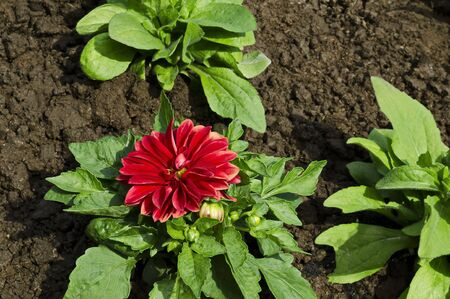 Fresh rooted red Dahlia flower, blooms in the new spring garden, Sofia, Bulgaria