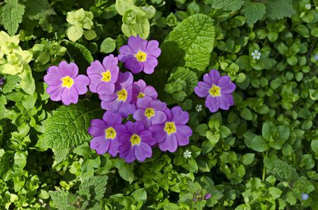 A small group of purple primrose or Primula vulgaris on a bed in the garden, Sofia, Bulgaria