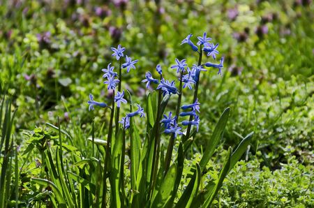 Small group of  blue hyacinth bloom in springtime garden, Sofia, Bulgaria
