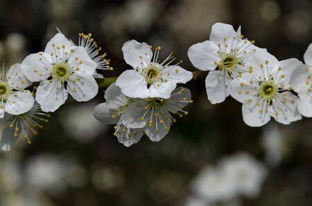 Springtime - an wild plum tree branch with flowers, Sofia city, Bulgaria, Europe