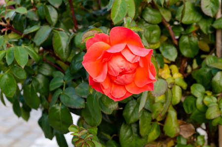 Photo of a rose bush with blooming orange color for greeting in a nature park, Sofia, Bulgaria