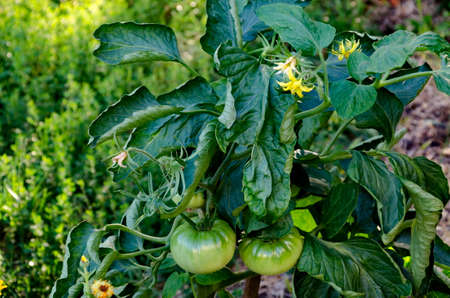 Organic farming with unripe tomatoes in a vegetable garden, Zavet town, Bulgaria