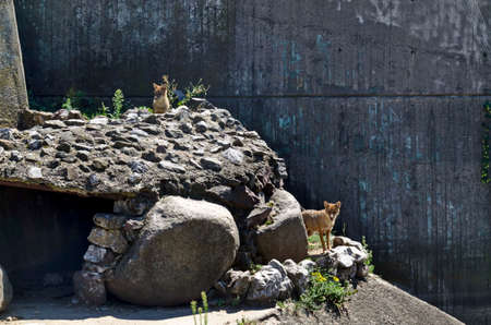 Two golden jackals, also known as ordinary lurking for a victim, Sofia, Bulgaria