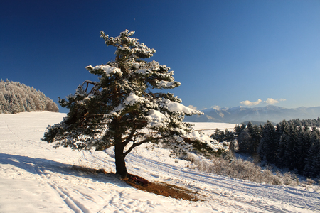 snowy pine trees in beautiful winter landscape, national park Mala Fatra in Slovakia, central Europe