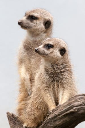 lombriz de tierra: Two suricate standing on a wooden branch