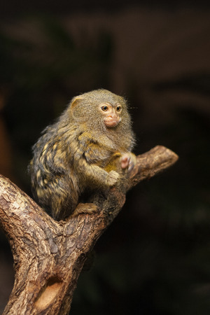 Small monkey pygmy marmoset - Cebuella pygmaea sitting on a tree.