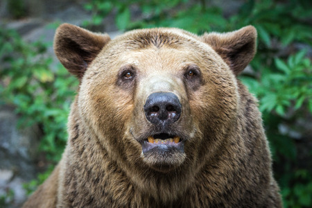 profile: Bears front view. Stock Photo
